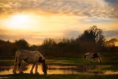 喝从湖边的马在日落 免版税库存图片