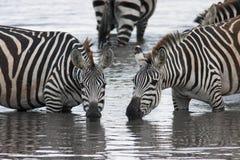 喝从美好的姿势的湖的两匹斑马 免版税库存图片