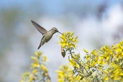 喝从黄色花的安娜的蜂鸟女性飞行 图库摄影