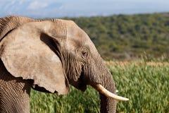 喝-非洲人布什大象 免版税库存图片