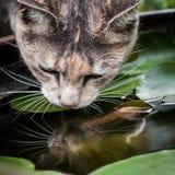 喝从鱼碗的龟甲平纹猫 免版税库存图片