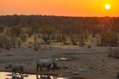 喝从waterhole的罕见的黑犀牛在日落 野生生物徒步旅行队在埃托沙国家公园,主要旅行目的地在Namib 库存照片