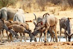 喝从waterhole的Kudu牧群 免版税库存照片