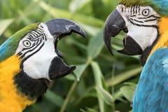 喧闹的邻居 两个青和金子金刚鹦鹉邻居国内拌嘴  库存照片
