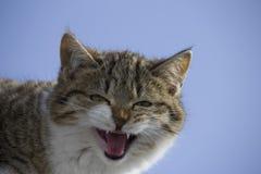 喵喵叫在屋顶的猫 背景蓝天 免版税库存照片