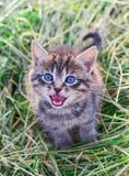 喵喵叫的灰色镶边小猫 免版税图库摄影