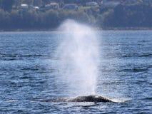 喷出在阳光下的灰鲸科 免版税库存照片