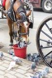 喷出的中央公园在纽约 马哺养 吃从红色桶的马 免版税库存照片