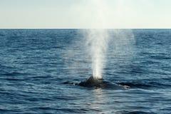 喷出的驼背鲸吹或 免版税库存照片