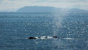 喷出的鲸鱼 库存照片