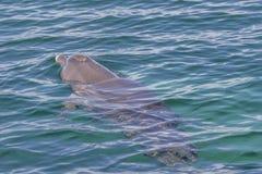 喷出通过它的打击孔的宽吻海豚,当游泳在Rockingham海,澳大利亚西部时 库存照片