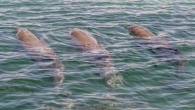 喷出通过它的通风孔的三宽吻海豚游泳和一个在Rockingham海,澳大利亚西部 图库摄影