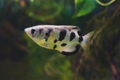 喷水鱼类chatareus或七斑点射水鱼 免版税库存图片