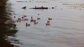 喷泉在城市公园 布朗鸭子清洁羽毛 夏日在国家公园 股票视频