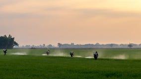 喷洒在绿色米领域的工作者化学制品 库存照片
