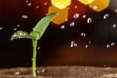 喷洒的年轻新芽胡椒,浇灌和关心对幼木 免版税库存照片
