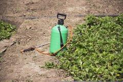 喷洒的肥料 手抽的喷雾器 使用在庭院的杀虫剂 喷洒草莓灌木在开花期间 免版税库存图片