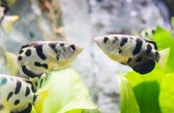 喷水鱼类chatareus,射手鱼 免版税图库摄影