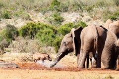 喷warthog的大象 库存照片