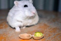 嗅一只可爱的仓鼠,寻找pistacchio坚果,坐一把木椅子 库存照片