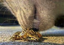 嗅一只害怕的青蛙的猫 库存照片