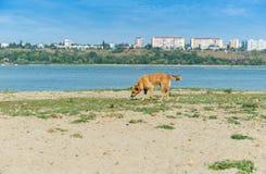 嗅为在一条大河的岸的食物的流浪狗 免版税库存照片