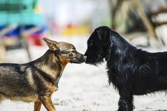 嗅作为reconnaissa一部分的不同的品种两条狗  免版税库存图片