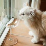 嗅到一个空的酒杯的好奇白色小猫 库存图片