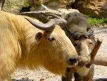 嗅到木头的两金黄扭角羚 库存照片