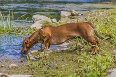 嗅到某事的美丽的香肠狗在河 免版税库存照片