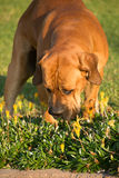 嗅到花的Boerboel狗 免版税库存照片