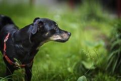 嗅到草的幼小黑小狗 免版税库存图片
