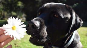 嗅到雏菊的拉布拉多 免版税图库摄影