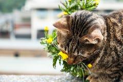 嗅到黄色花的一只逗人喜爱的猫 库存图片