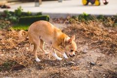 嗅在一个家庭庭院的奇瓦瓦狗小狗设置侧视图 免版税库存照片