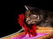 嗅在一朵红色花的逗人喜爱的小猫 图库摄影
