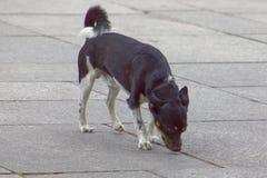 嗅地面的法国狗 库存图片