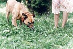 嗅地面的谨慎狗,当在与所有者,裁减时的步行 库存照片