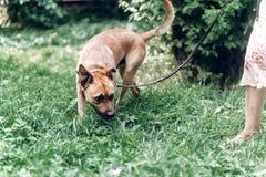嗅地面的谨慎狗,当在与所有者,裁减时的步行 免版税库存图片