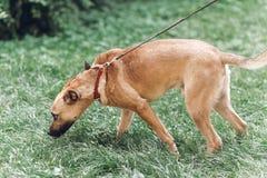 嗅地面的谨慎狗,当在与所有者,裁减时的步行 库存图片