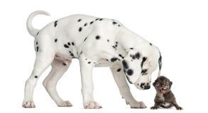 嗅小猫的达尔马希亚小狗猫叫 免版税库存图片