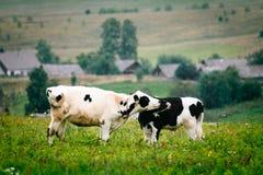 嗅的小牛在牧场地 免版税库存照片