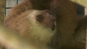 嗅的怠惰担任主角和,哥斯达黎加 股票录像