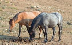 嗅肥料螺柱堆的肝脏栗子海湾软羊皮的公马在普莱尔山野马范围蒙大拿美国的一匹暗褐色母马旁边 免版税库存图片
