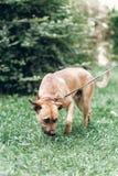 嗅草在公园,在地方教育局的哀伤的狗的逗人喜爱的查寻狗 免版税库存照片
