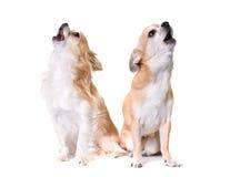 嗥叫两的奇瓦瓦狗 库存图片