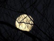 嗥叫在月亮 免版税库存图片