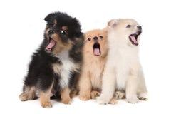 嗥叫在白色背景的唱歌Pomeranian小狗 免版税库存照片