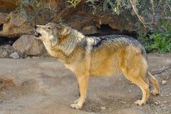 嗥叫墨西哥的狼 免版税库存照片