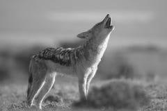 嗥叫狐狼 免版税库存图片